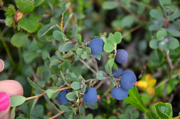 Bear food: Blue berries, just imagine how many a Grizzly has to eat.